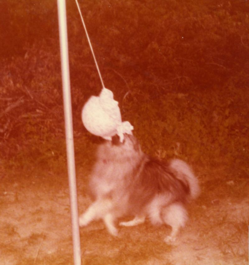 Tether ball dog