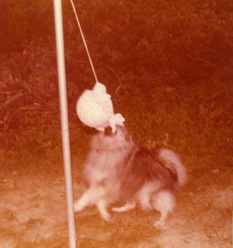 Tether ball dog